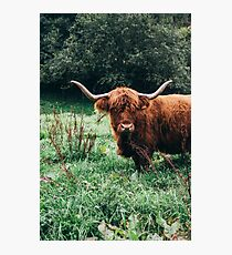 Scottish Cattle Photographic Print