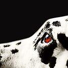 The Amber Eye. Kokkie. Dalmation Dog by JennyRainbow