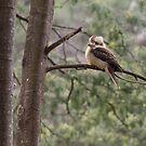 Kookaburra by HildaJorgensen
