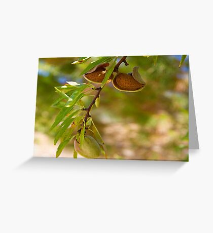 Almond Harvest - Ripe Almonds On A Tree Branch Greeting Card