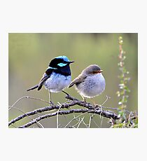 Superb fairy wrens Photographic Print