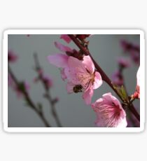 Honey Bee Feeding on Peach Tree Blossom Sticker
