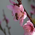 Honey Bee On Open Peach Tree Blossom by taiche