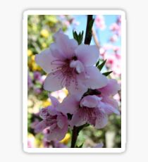 Pastel Shades of Peach Tree Blossom Sticker