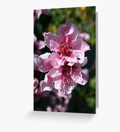 Peach Tree Blossom With Garden Background Greeting Card
