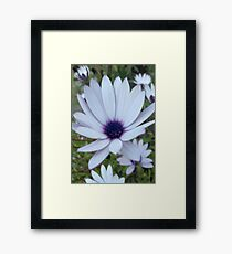 White Osteospermum Flower Daisy With Purple Hue Framed Print