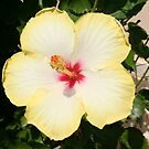 Pale Yellow Hibiscus Flower - Front View by taiche