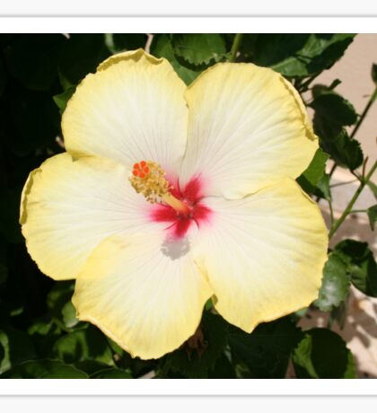 Pale Yellow Hibiscus Flower - Front View Sticker