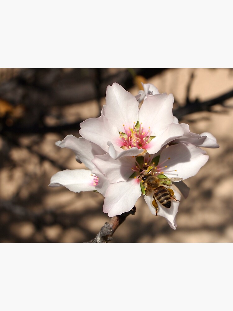 Bee on Apricot Blossom by douglasewelch
