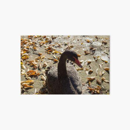 Black swan taking a Sun bath, leaves on the ground, Autumn colors, original photography Art Board Print