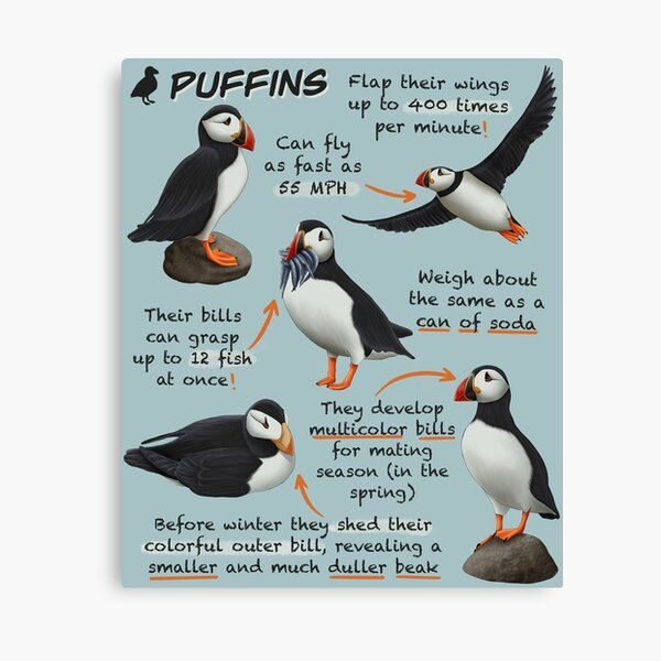 Puffins Fun Animal Facts Canvas Print