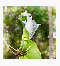 Unfolding beauty of a Butterfly tree flower Photographic Print