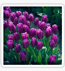 Purple Tulips  Sticker