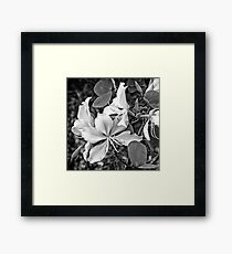 Exquisite beauty of a Butterfly tree flower Framed Print