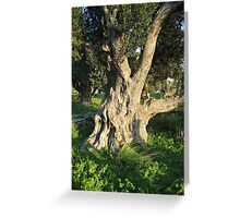 An Old Olive Tree Greeting Card