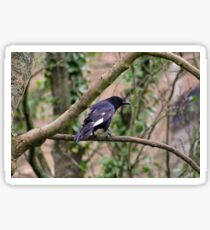 Crow with white wings Sticker