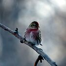 Common Redpoll male by akaurora