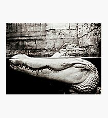 Albino Alligator Photography  Photographic Print