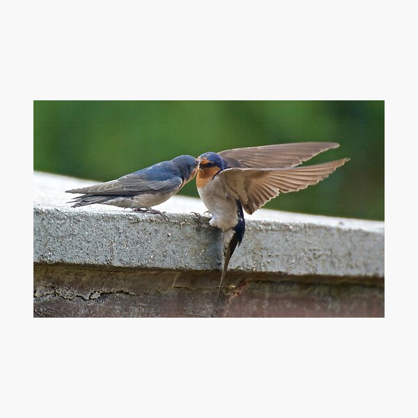 SWALLOW ~ Welcome Swallow AH5SELJ5 by David Irwin Photographic Print