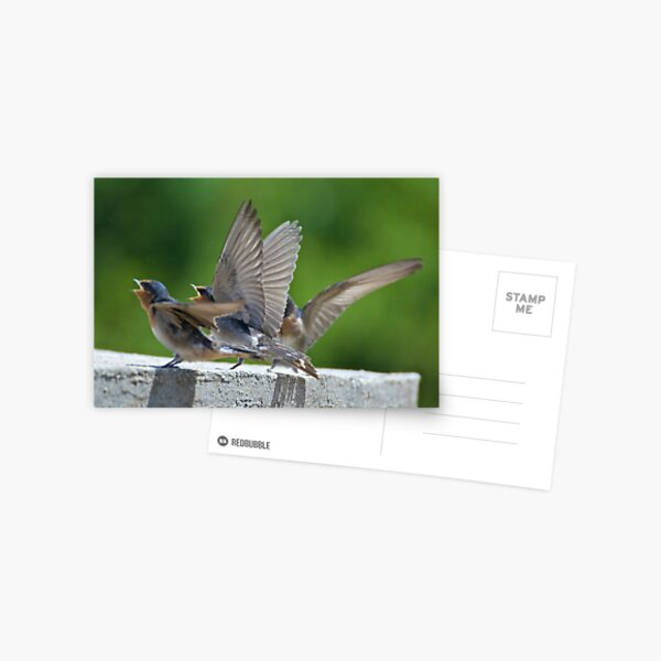 SWALLOW ~ Welcome Swallow BCWD4TX8 by David Irwin Postcard