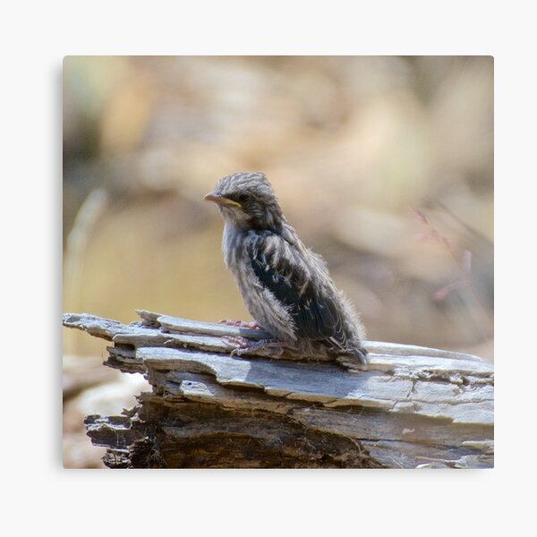 Dusky Wood Swallow Metal Print