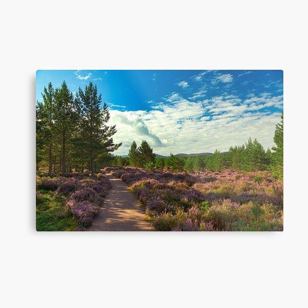 A pleasant path through blooming purple heather in Abernethy Forest. Metal Print