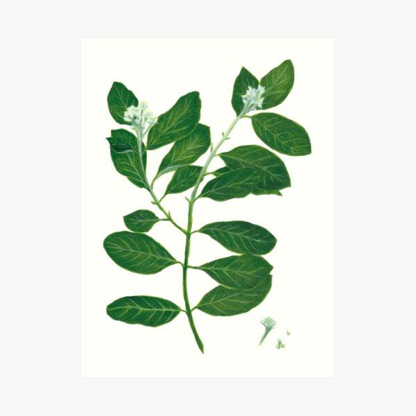 Mt. St. Helena Olive Art Print