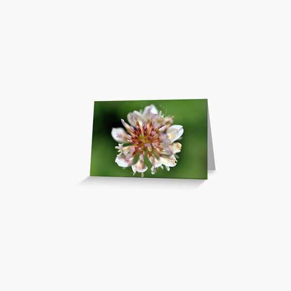 Sweet White Clover   Greeting Card