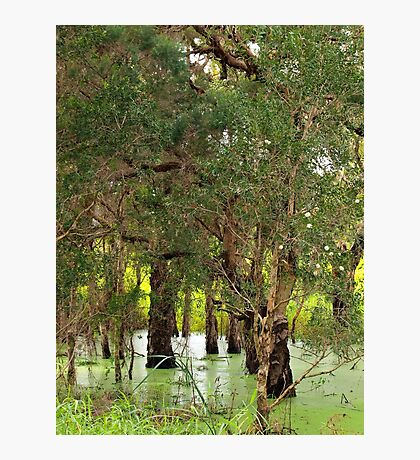 Paper Bark Wetlands  Photographic Print