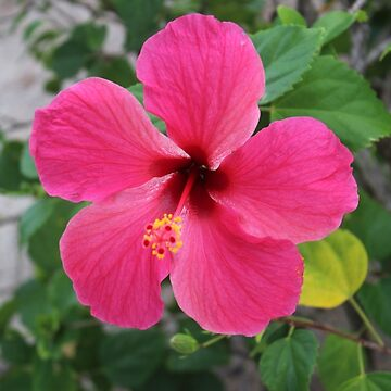 Pink Hibiscus by llier4