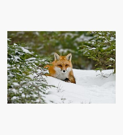 Red Fox In Snow Photographic Print