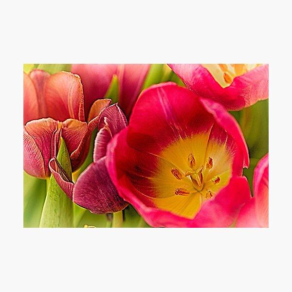 Tulip Delight Photographic Print