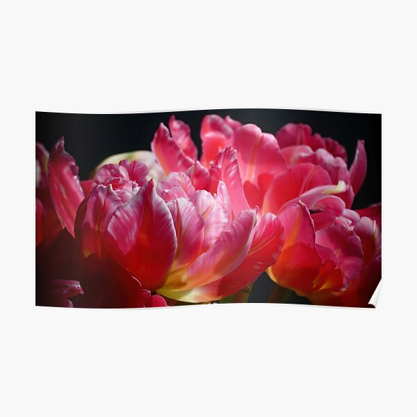 Pink Parrot Tulips close up VI Poster