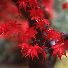 Autumn Acer by Kevin Allan