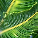 Sego Leaves by Chet  King