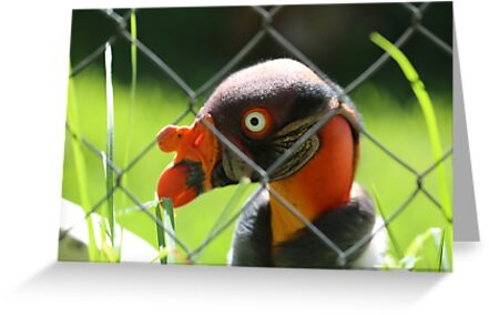 Caged King Vulture Near Cape Town by renprovo