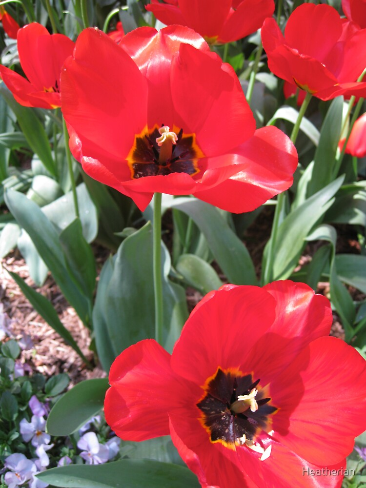 Tulip Time in Canberra Australia 16  by Heatherian