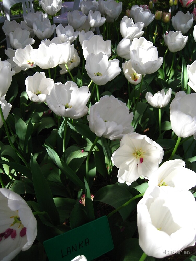 Tulip Time in Canberra Australia 10  by Heatherian