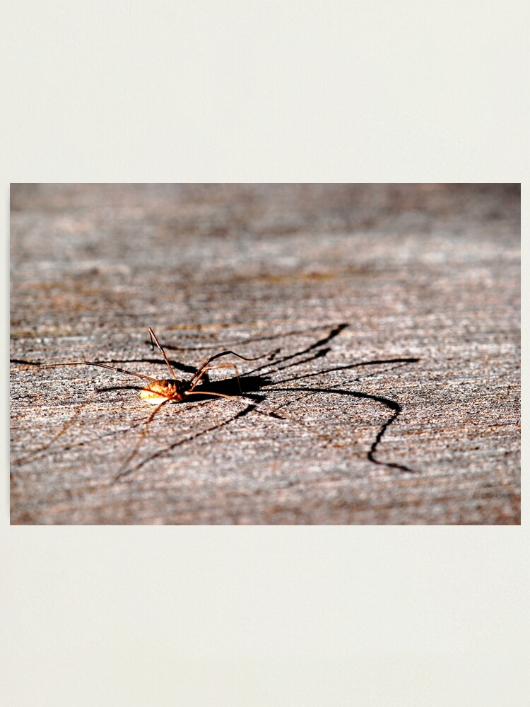 Alternate view of Daddy Long Legs Photographic Print