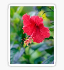Rose Red Hibiscus Beauty Sticker