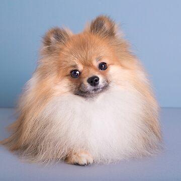 Cute Pomeranian by madebyrina