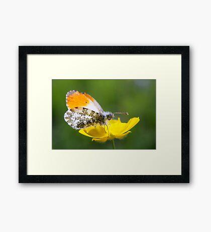 Orange Tip on Buttercup Framed Print