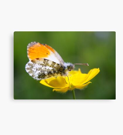 Orange Tip on Buttercup Canvas Print