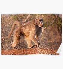 Chacma Baboon, Kruger National Park, South Africa Poster