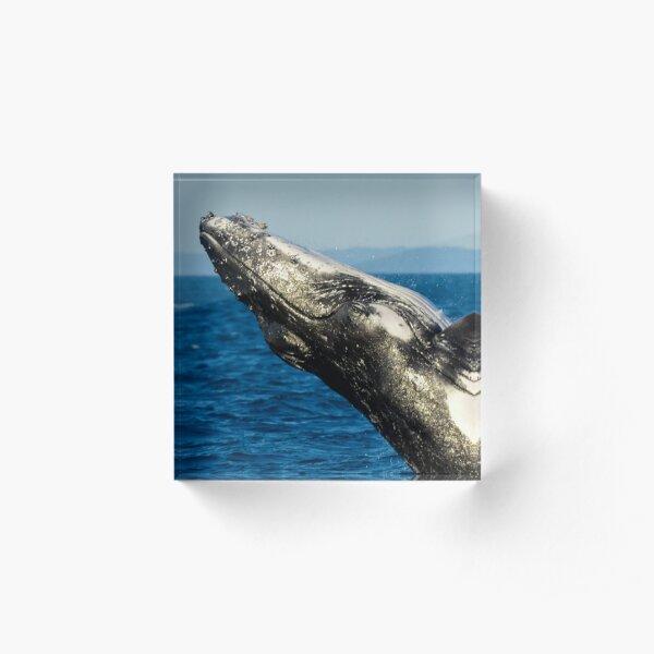 Humpback whale breaching Acrylic Block
