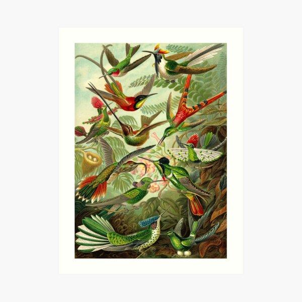 Colibri - Ernst Haeckel Art Print