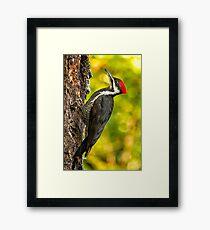 Female Pileated Woodpecker No. 2 Framed Print