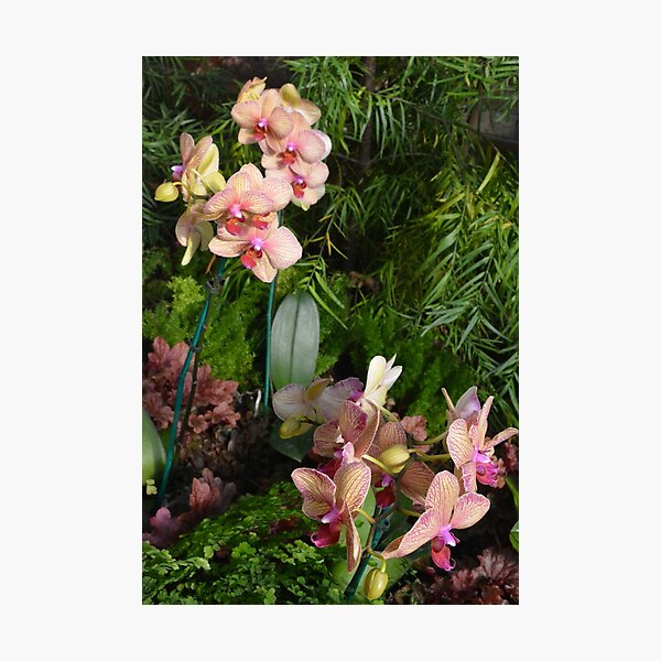 Orchids at The Phipps Conservatory Pittsburgh Photographic Print