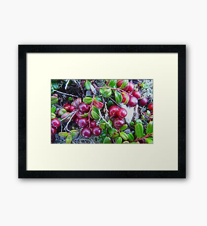 Wild Moss Cranberries Framed Print