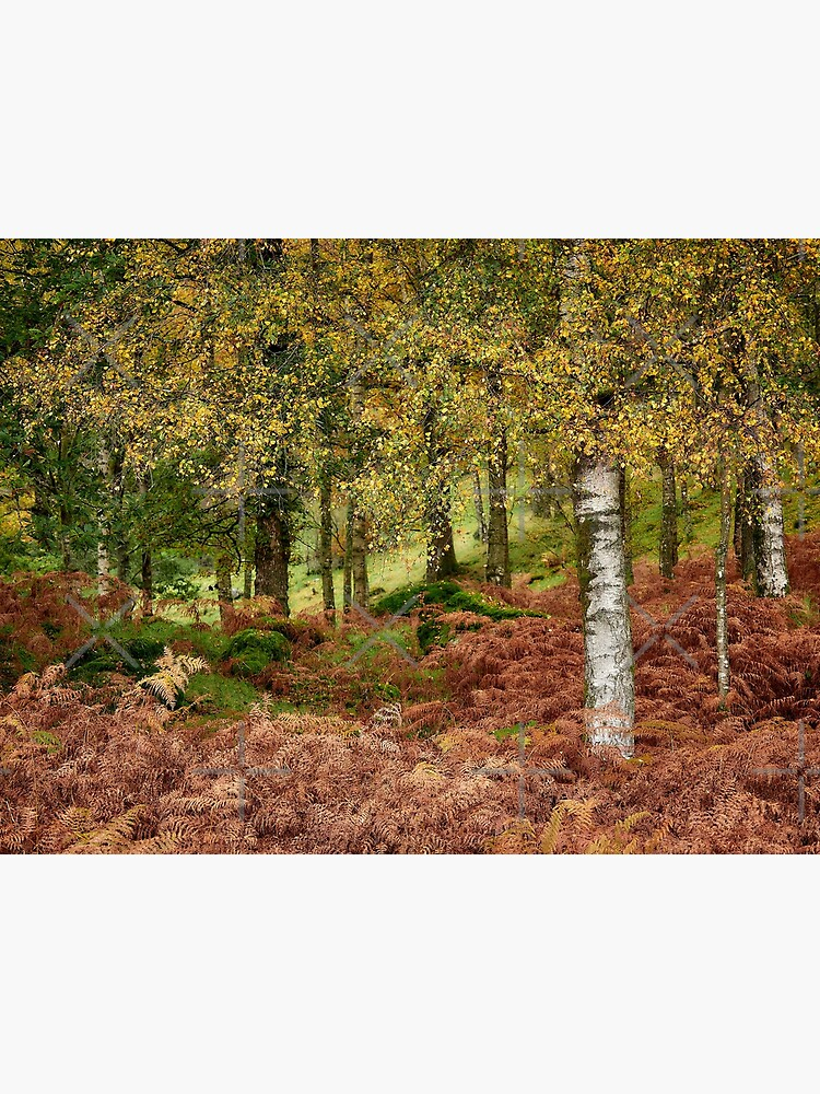 Rusland Birch - Autumn colours by mille19